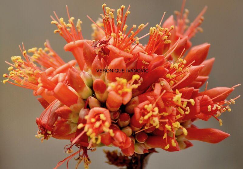 FLOWERS/FLEURS. ARIZONA DREAM !