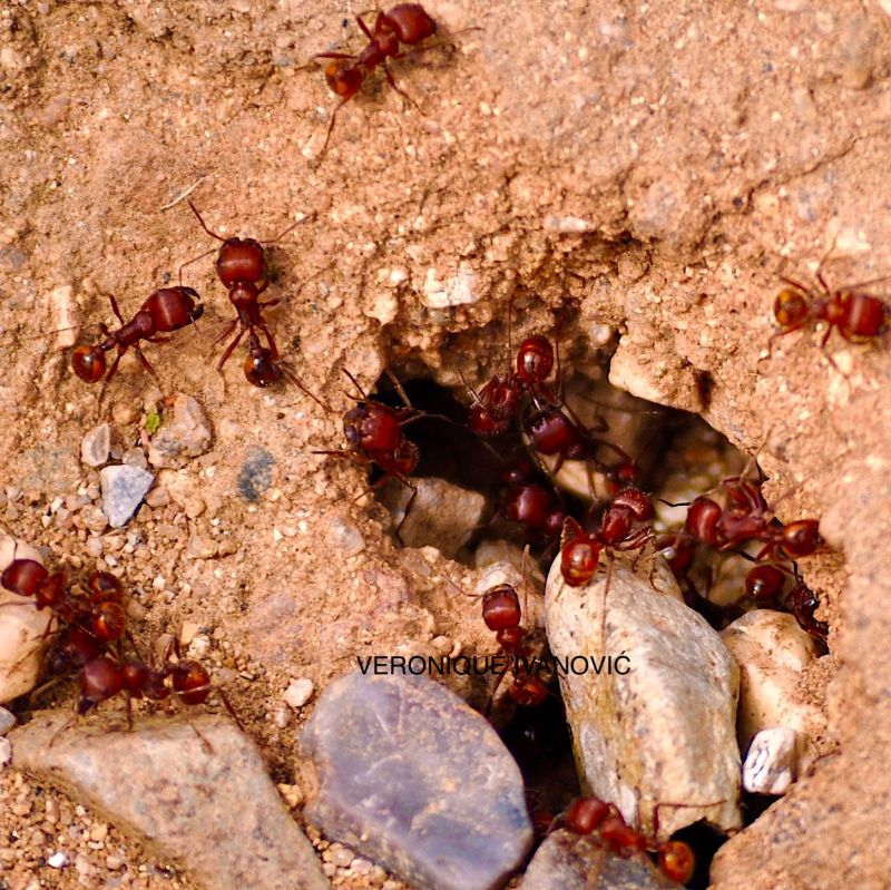 Red Ants 1