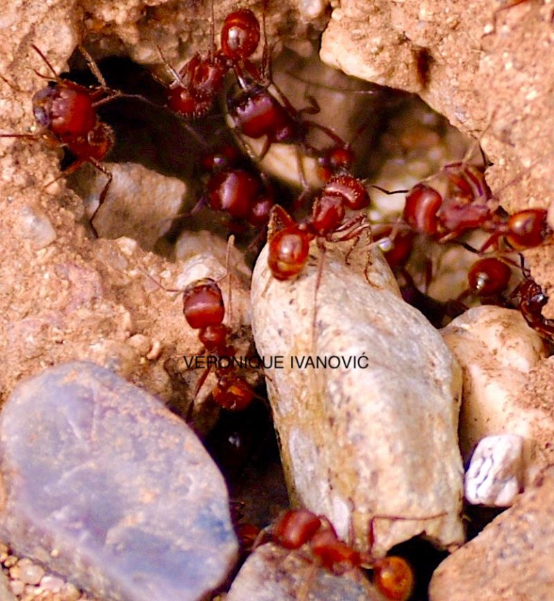Red Ants 2